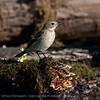 Bonte vliegenvanger Ficedula hypoleuca European pied flycatcher Gobemouche noir Trauerschnäpper