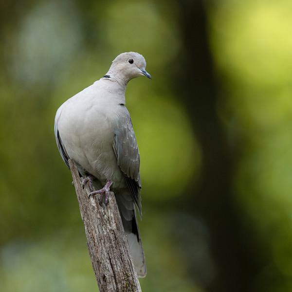 Streptopelia decaocto; Türkentaube; Collared Dove; Tourterelle turque; Turkse Tortel