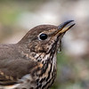 Zanglijster; Turdus philomelos; Singdrossel; Song Thrush; Grive musicienne