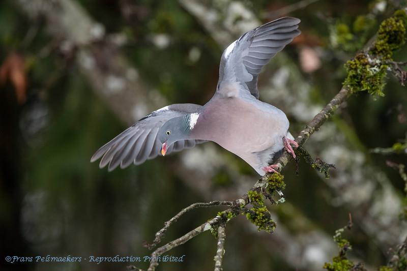 Houtduif; Columba palumbus; Ringeltaube; Wood Pigeon; Pigeon ramier