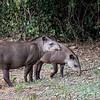 Tapir; 2019; Laaglandtapir; Tapirus terrestris; South American tapir; Tapir du Brésil; Flachlandtapir