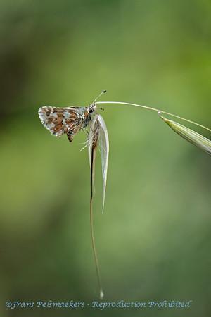 Kalkgraslanddikkopje; Spialia sertorius; Redunderwing skipper; Hespérie des sanguisorbes; Roussâtre; Roter WürfelDickkopffalter
