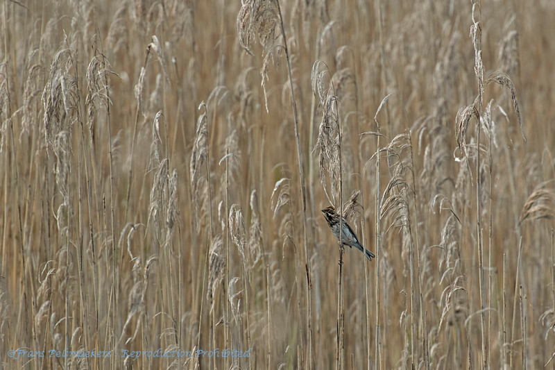 Rietgors; Emberiza schoeniclus; Rohrammer; Reed Bunting; Bruant des roseaux