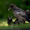 Kraai; Zwarte Kraai; Corneille noire; Corvus corone corone; Rabenkrähe; Carrion crow