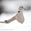 Streptopelia decaocto; Türkentaube; Collared Dove; Tourterelle turque; Turkse Tortel