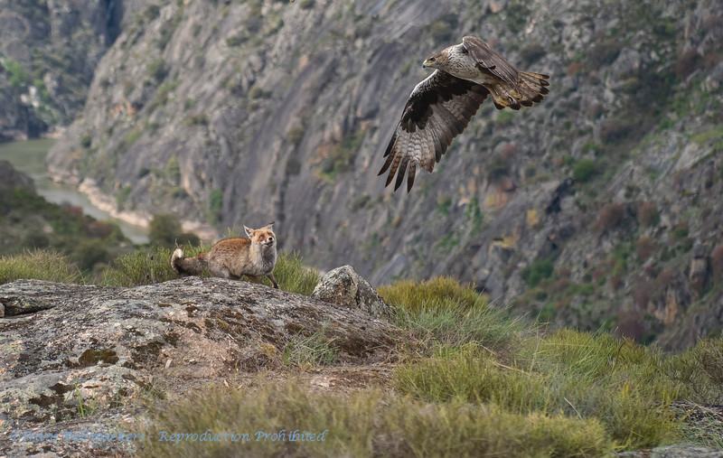 Havikarend; Aquila fasciata; Bonelli's eagle; Aigle de Bonelli; Habichtsadler