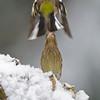 Groenling; Carduelis chloris; Grunfink; Greenfinch; Verdier d'Europe