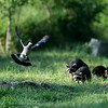 Wasbeer; Gewone wasbeer; Procyon lotor; Raccoon; Waschbär; Raton laveur