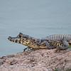 Brilkaaiman; Caiman crocodilus; Spectacled caiman; Caïman à lunettes; Krokodilkaiman