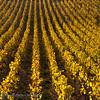 Herfstlandschap; 2018; ChampagneArdennes; France; Vines; autumn colors; couleurs automnales; herfstkleuren