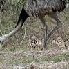 Nandoe; Rhea americana; Greater rhea; Nandou d'Amérique; Nandu