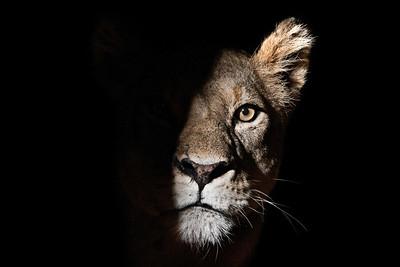 Lioness at night