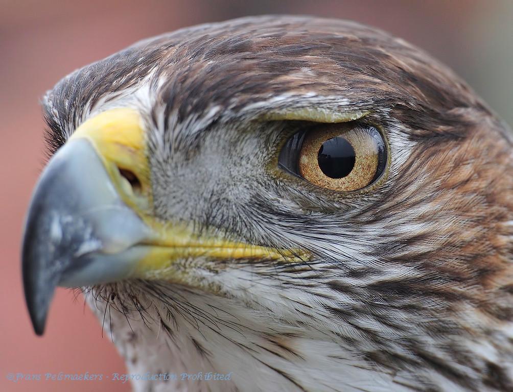 Close-up eyes Bonelli's Eagle