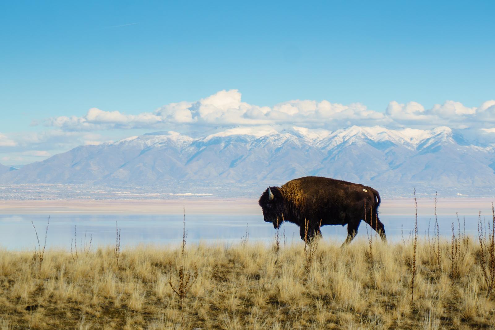 Ogden Bison