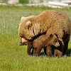 Katmai NP - Brown Bears