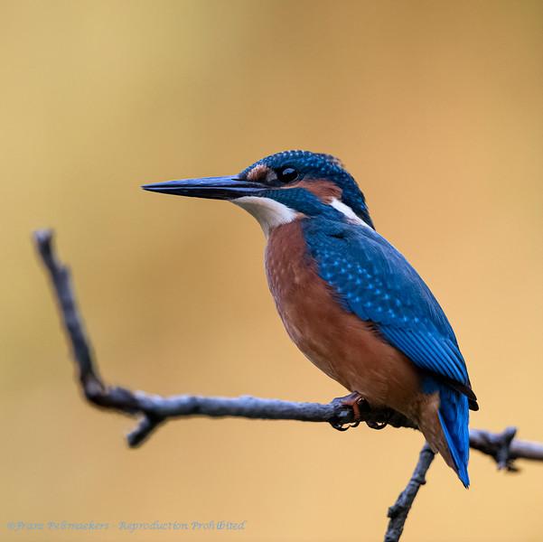 IJsvogel; Alcedo atthis; Eisvogel; Kingfisher; Martinpècheur d'Europe