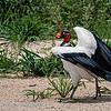 Koningsgier; 2019; Sarcoramphus papa; King vulture; Sarcoramphe roi; Königsgeier
