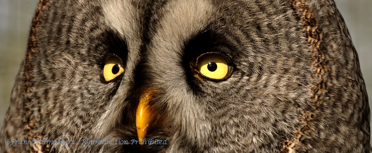 Close-up eyes Great Grey Owl