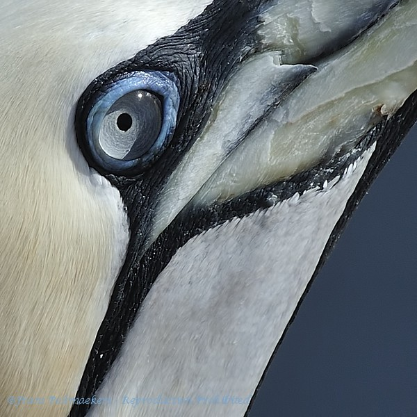 Close-up eyes Gannet