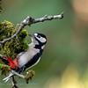 Dendrocopos major Buntspecht Great Spotted Woodpecker Pic épeiche Grote Bonte Specht