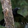 Zwarte Kraai; Corneille noire; Corvus corone corone; Carrion Crow; Rabenkrähe