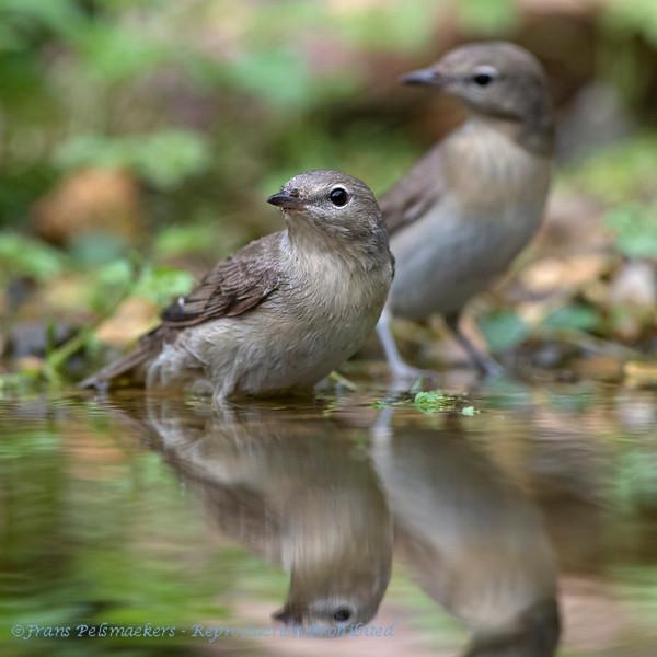 Tuinfluiter; Sylvia borin; Garden warbler; Fauvette des jardins; Gartengrasmücke