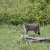 Wilde kat; Felis silvestris; Wildcat; Chat sauvage; Wildkatze; Chat forèstier