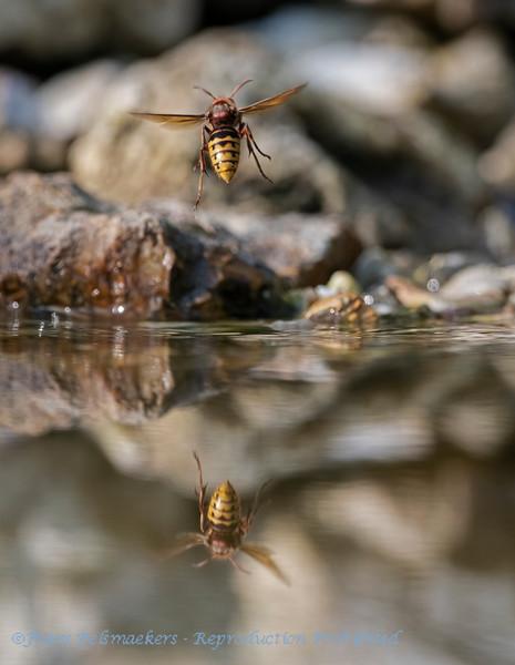 Hoornaar; Vespa crabro; Paardenwesp; European hornet; Frelon européen; Hornisse