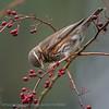 Koperwiek; Turdus iliacus; Grive mauvis; Rotdrossel; Redwing