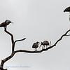 Grijze ibis; Theristicus caerulescens; Plumbeous ibis; Ibis plombé; Stirnbandibis