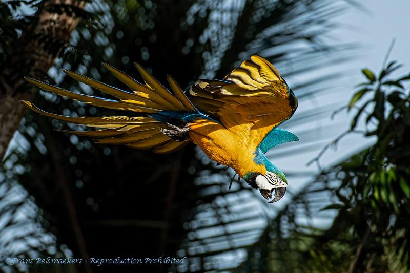 Blauwgele ara; Ara ararauna; Blueandyellow macaw; Ara bleu et jaune; Gelbbrustara