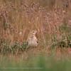 Kortteenleeuwerik; Calandrella brachydactyla; Greater shorttoed lark; Alouette calandrelle; Kurzzehenlerche