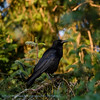 Zwarte Kraai; Corneille noire; Corvus corone corone; Hooded Crow; Rabenkrähe