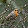 Roodborst  Erithacus rubecula Rotkehlchen Robin Rougegorge familier