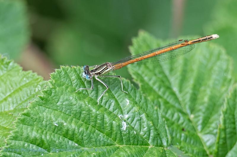 Oranje breedscheenjuffer; Platycnemis acutipennis; Orange Featherleg; Orange Whitelegged Damselfly; Pennipatte orangé