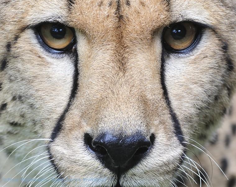 Close-up eyes Cheetah