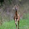 Ree 2019 Capreolus capreolus Roe deer Reh Chevreuil