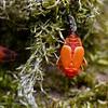 Vuurwants; Pyrrhocoris apterus; Gendarme; Firebug; Gemeine Feuerwanze