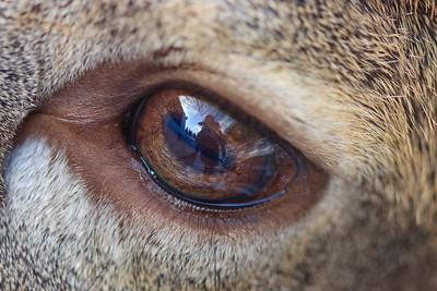 Auto-portrait dans un oeil de chevreuil / Port-Menier