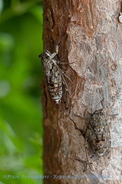 Mannacicade  Kraakcicade Cicada orni