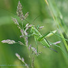 Sabelsprinkhaan; Zadelsprinkhaan; Tettigoniidae; Bush cricket; Orthoptères; Laubheuschrecke