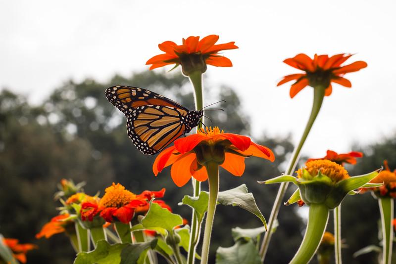 Monacrch Butterfly On A Flower