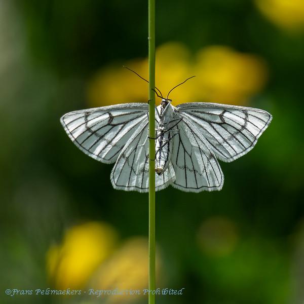 Siona lineata; Blackveined moth; Vals witje; HartheuSpanner; Phalène blanche