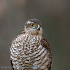 Sperwer; Accipiter nisus; Sparrowhawk; Epervier d'Europe; Sperber