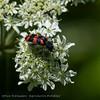 Behaarde bijenwolf; Trichodes alvearius; Trichode des ruches; Checkered beetle