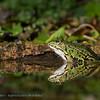 Groene kikker Pelophylax Water frog Grenouille verte Grünfrösche