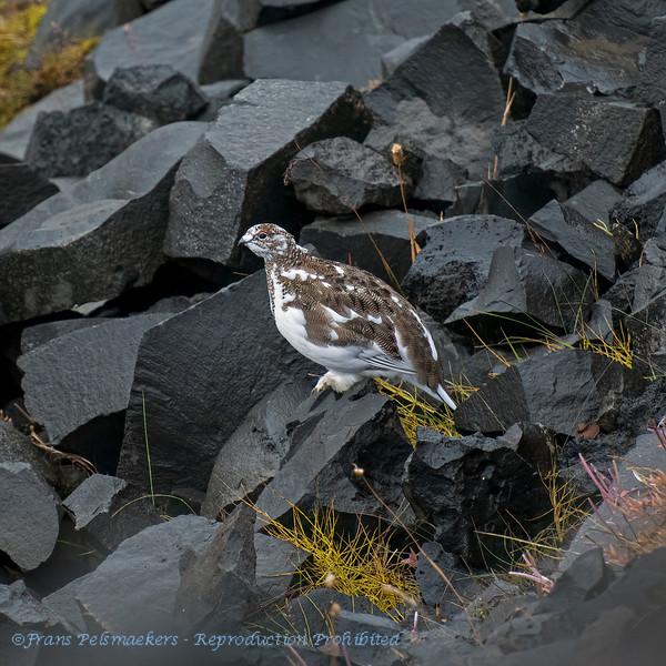 IJsland; Lagopus mutus; Alpenschneeehuhn; Rock Ptarmigan; Lagopède alpin; Alpensneeuwhoen; 2019