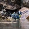 Parus caeruleus; Blaumeise; Blue Tit; Mésange bleue; Pimpelmees