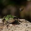 Groene kikker; Pelophylax; Water frog; Grenouille verte; Grünfrösche