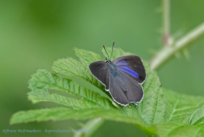 Eikenpage; Favonius quercus; Purple hairstreak; Thècle du chêne; Blauer EichenZipfelfalter